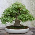 Acer Palmatum Bonsai kaufen
