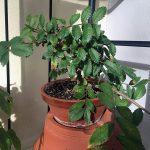 Pflegeanleitung Japanische Ulme (Ulmus japonica)