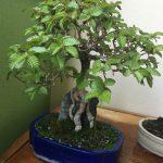 Bonsai Pflege: Korreanische Hainbuche