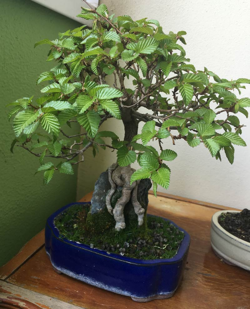 Pflege bonsai baum indoor