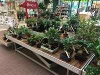 Vorteile von Baumarkt-Bonsai