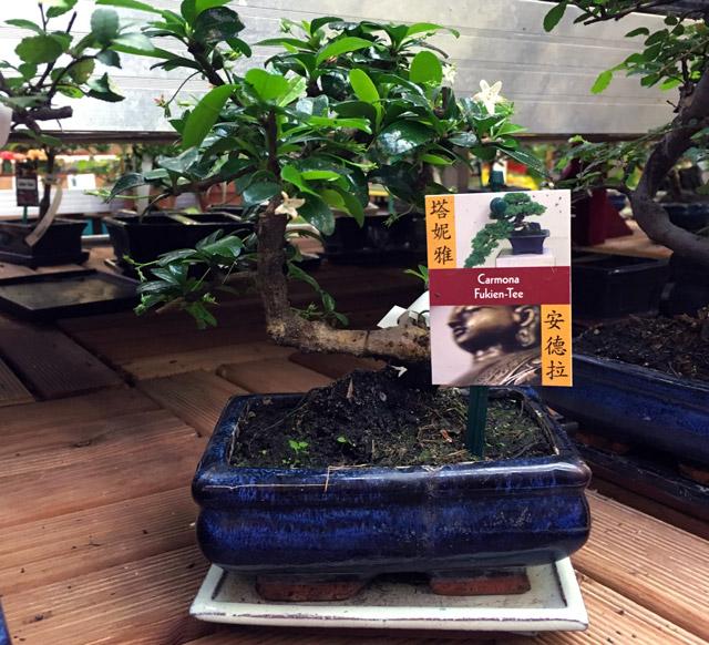 Pflegeanleitung Carmona Microphylla - Fukien Tee