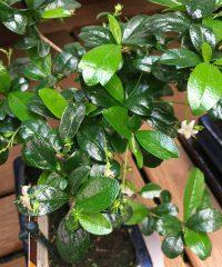 Detailansicht der Fukien Tee Blüte und Blätter