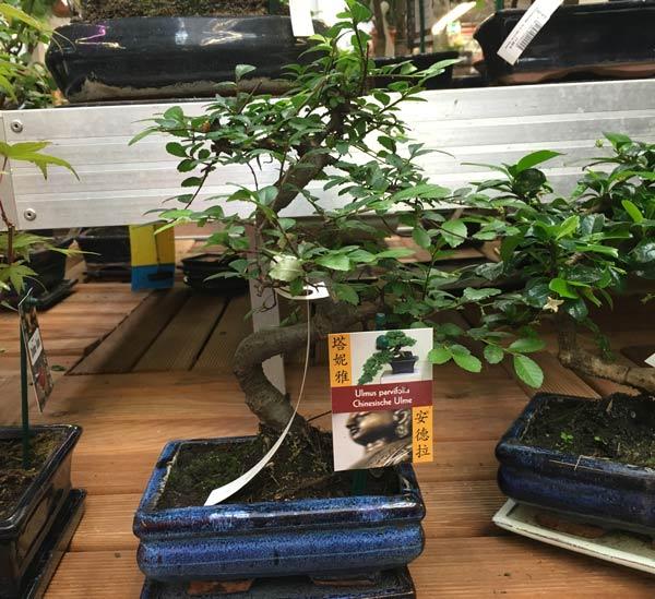 Pflegeanleitung Chinesische Ulme als Bonsai